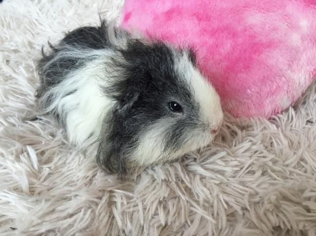 My big love Staszek ❤ cute guinea pig :)